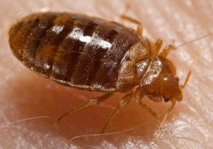Photo of a bed bug.